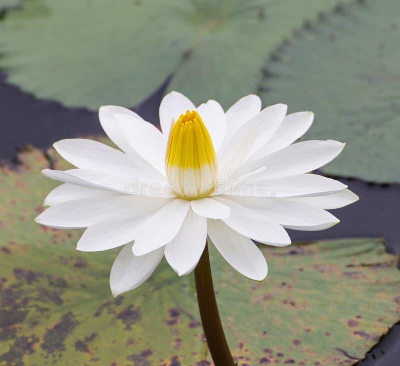 Uma flor de lótus brancos fotografia de stock