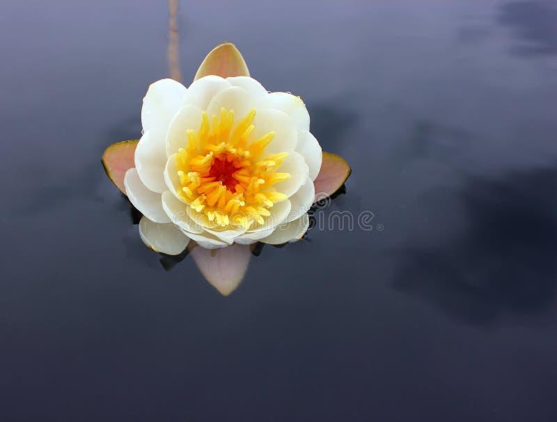 Uma flor de um lírio de água branca com pétalas delicadas sae na superfície foto de stock