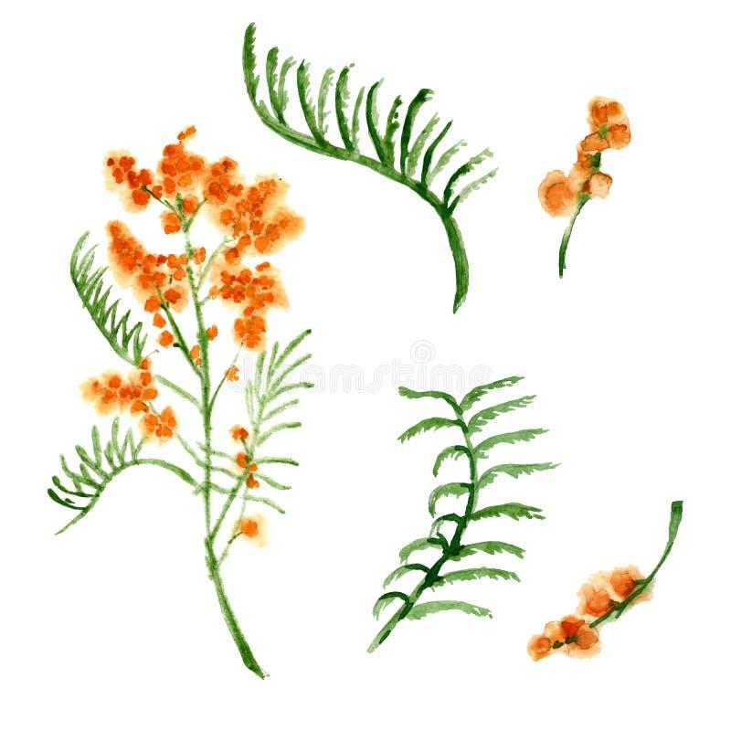 Uma flor de uma mimosa Flor amarela da mola Ilustração da aguarela ilustração royalty free