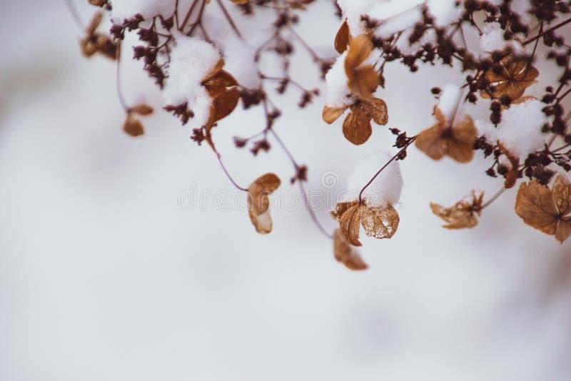 Uma flor delicada murcho no jardim em um dia gelado frio durante a neve branca de queda imagem de stock royalty free