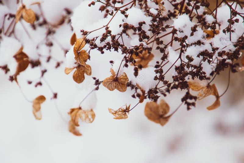 Uma flor delicada murcho no jardim em um dia gelado frio durante a neve branca de queda fotografia de stock royalty free