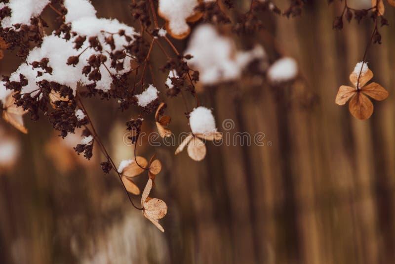 Uma flor delicada murcho no jardim em um dia gelado frio durante a neve branca de queda fotografia de stock