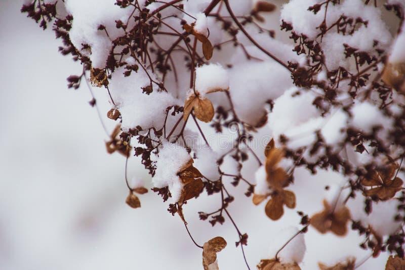 Uma flor delicada murcho no jardim em um dia gelado frio durante a neve branca de queda imagem de stock