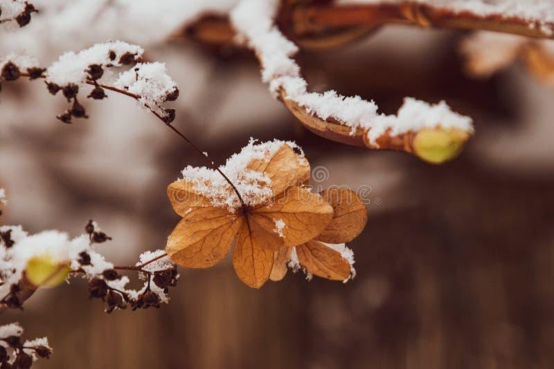 Uma flor delicada murcho no jardim em um dia gelado frio durante a neve branca de queda foto de stock royalty free