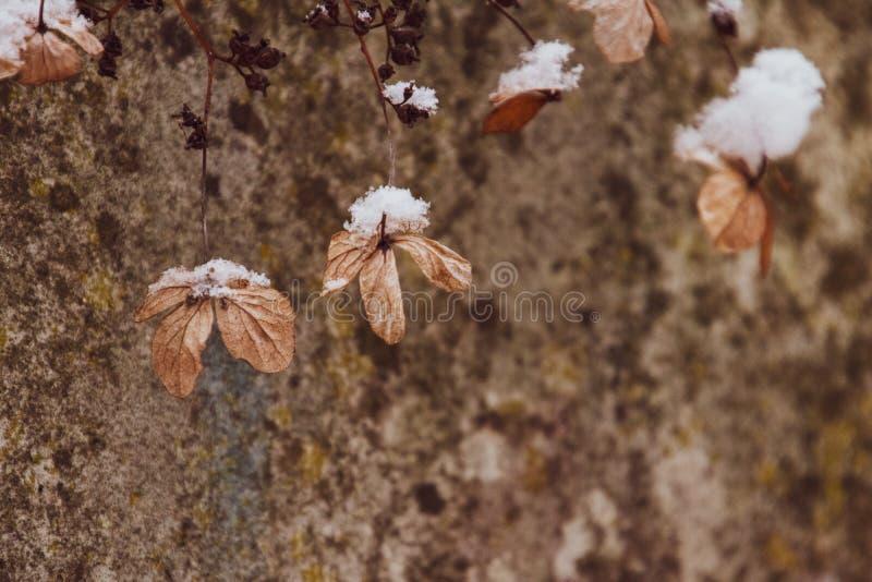 Uma flor delicada murcho no jardim em um dia gelado frio durante a neve branca de queda fotos de stock royalty free