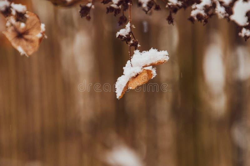 Uma flor delicada murcho no jardim em um dia gelado frio durante a neve branca de queda foto de stock