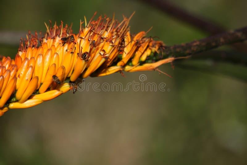 Uma flor do aloés com as abelhas que zumbem ao redor imagens de stock royalty free
