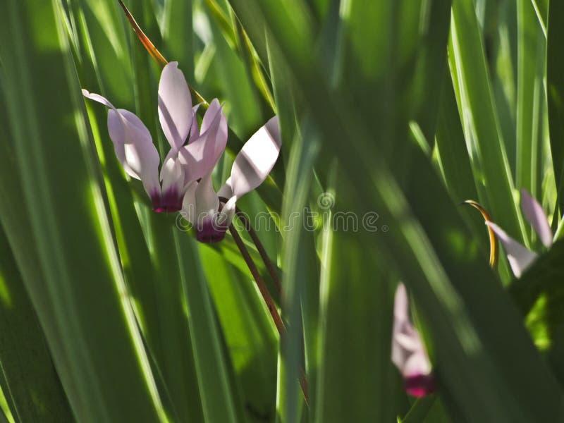 Uma flor do cíclame cercada pelo verde foto de stock royalty free