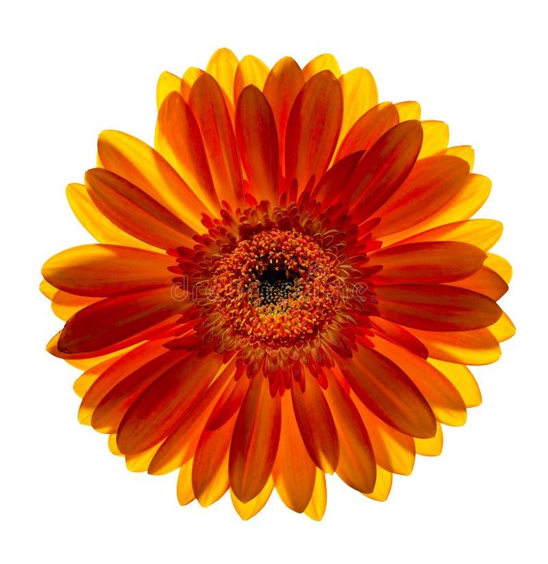 Uma flor do gerbera foto de stock royalty free