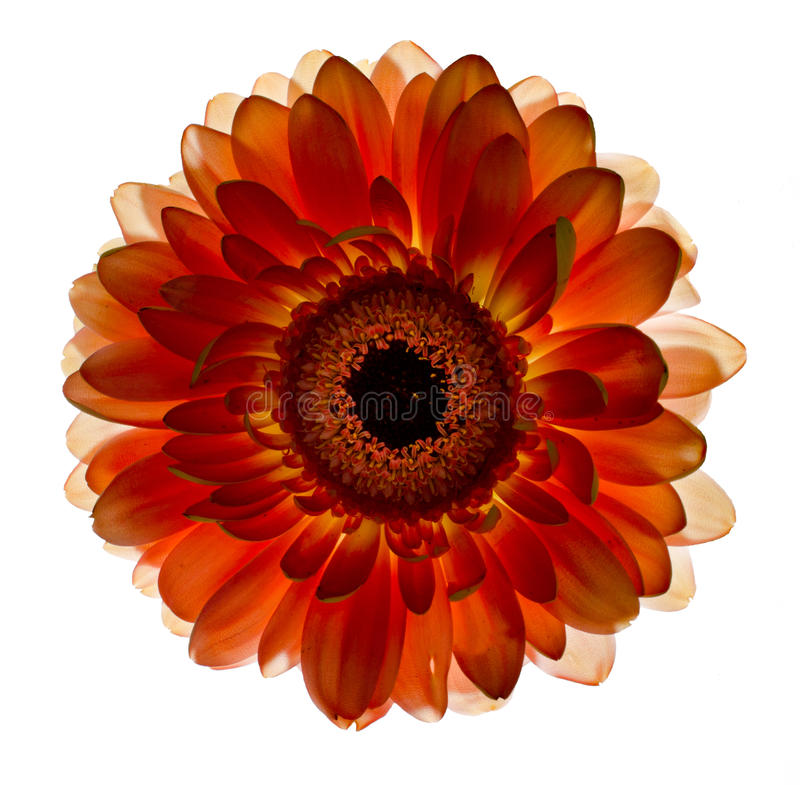 Uma flor do gerbera foto de stock