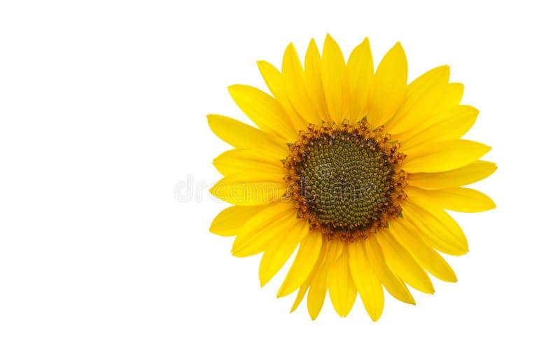 Uma flor do sol isolada no branco imagem de stock royalty free