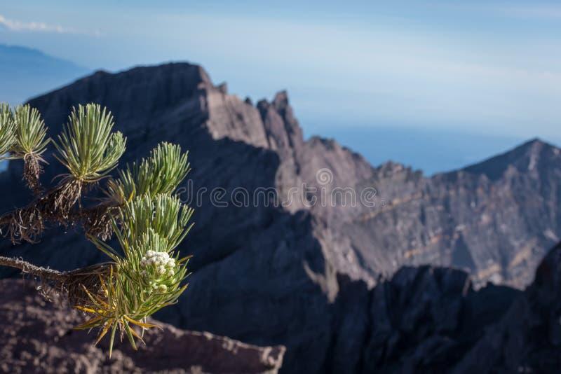 Uma flor dos edelvais ou sabido como a flor eterno Raung é o mais desafiante de fugas de montanha de todo o Java, igualmente é um foto de stock royalty free