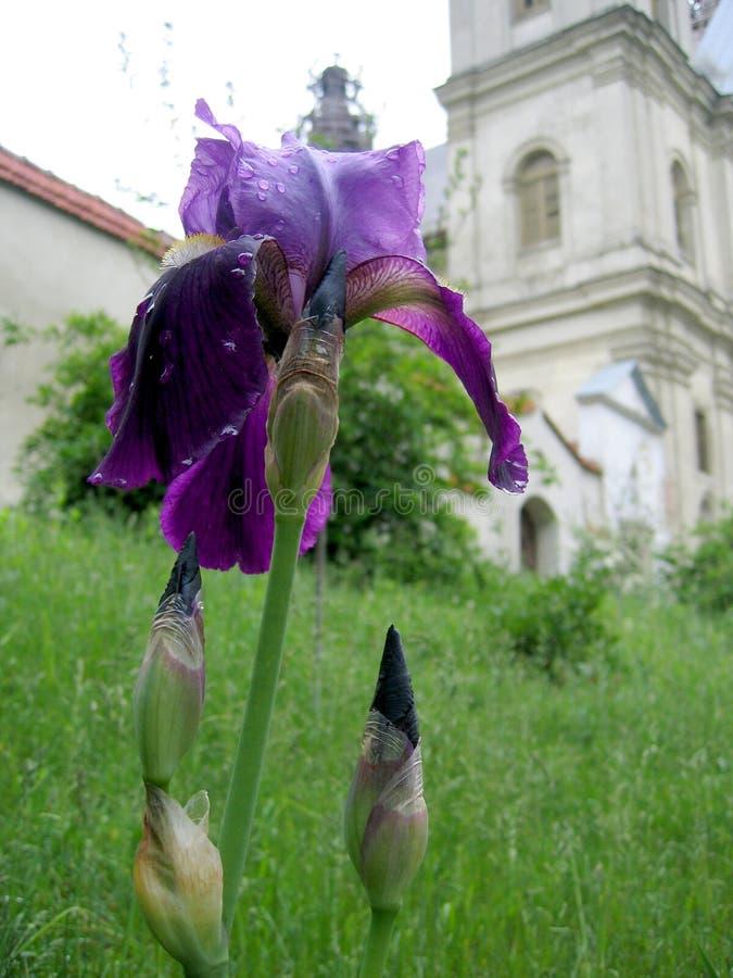 Uma flor e uma igreja fotos de stock