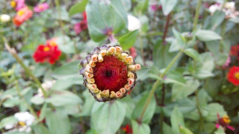 Uma flor em botão foto de stock royalty free