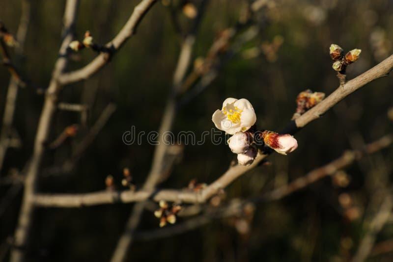 Uma flor em botão que floresce em um galho de uma árvore de amêndoa na mola adiantada imagens de stock