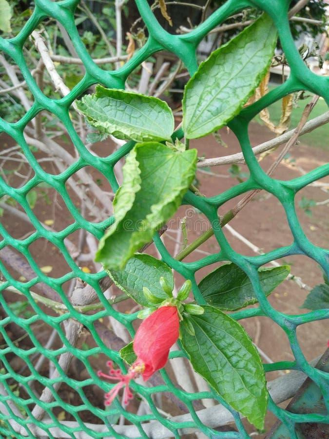 Uma flor em botão vermelha com folhas verdes fotografia de stock royalty free