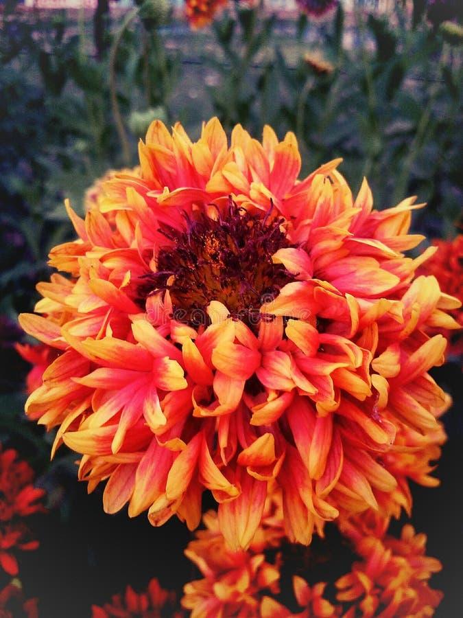 Uma flor emergente da mãe Natureza imagens de stock