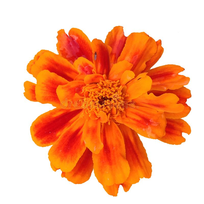 Uma flor isolada do cravo-de-defunto francês fotos de stock royalty free