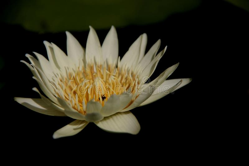 Uma flor Lotus branco fotografia de stock