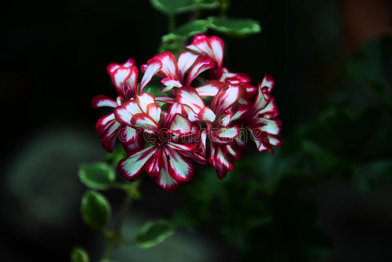 Uma flor magenta-branca em um fundo escuro foto de stock royalty free