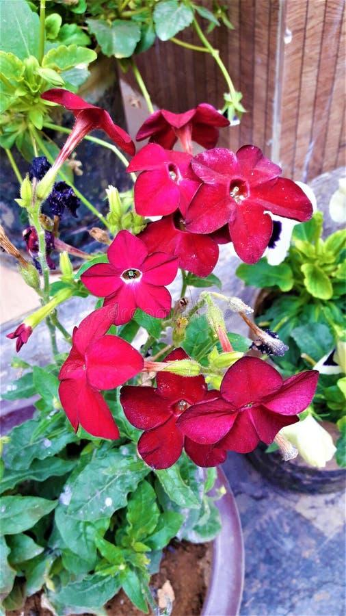 Uma flor minúscula bonita da cor vermelha com folhas verdes fotografia de stock