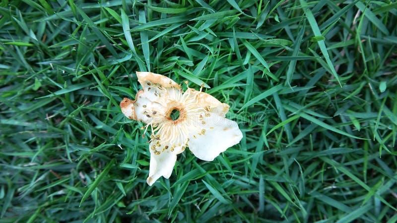 Uma flor murcho cai na grama verde imagem de stock