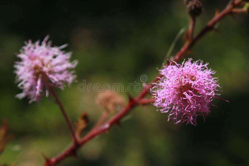 Uma flor nativa do brasileiro Cerrado imagens de stock royalty free