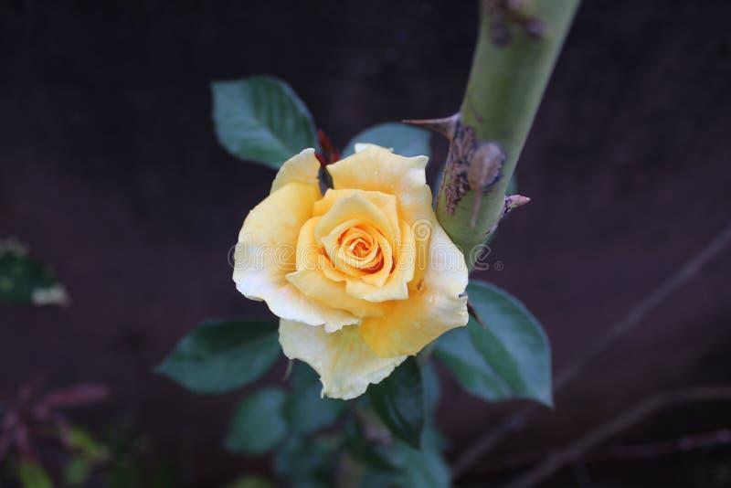 Uma flor pastel bonita da rosa do amarelo na manhã foto de stock