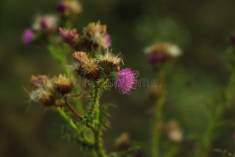 Uma flor persa da árvore de seda que floresce afastado em um fundo obscuro macio do bokeh em uma noite bonita Papel de parede da  fotos de stock royalty free