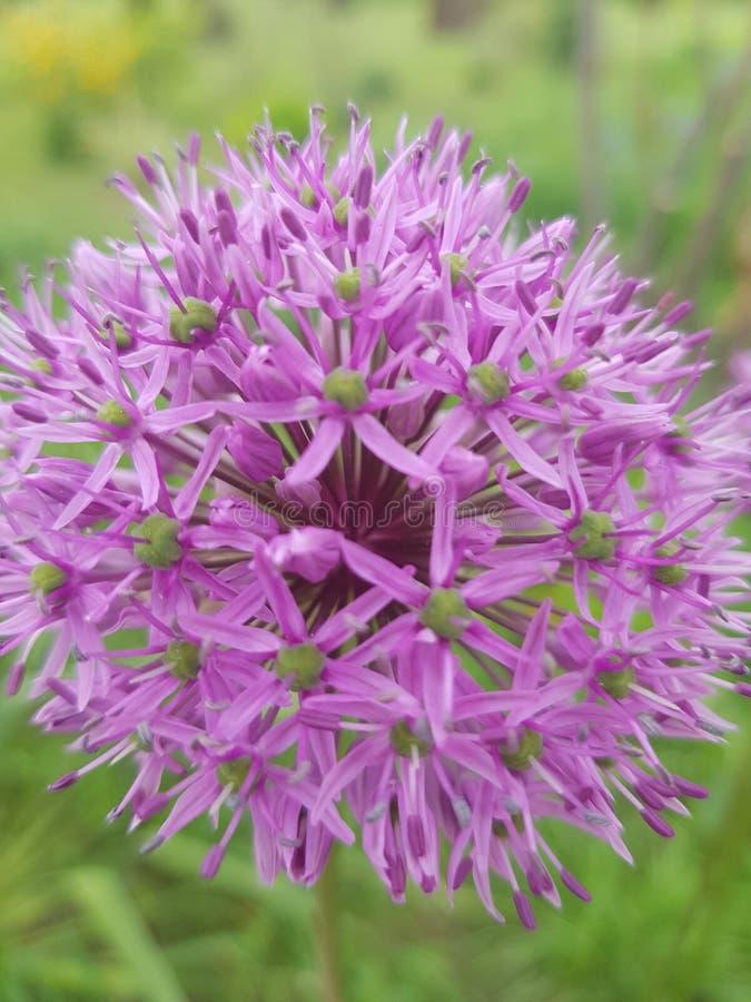 Uma flor que se assemelhe a fogos de artif?cio em seu formul?rio fotos de stock