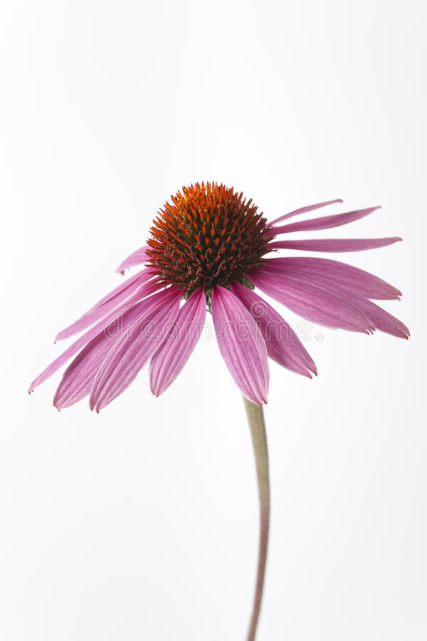 Uma flor roxa do Echinacea no fundo branco imagem de stock