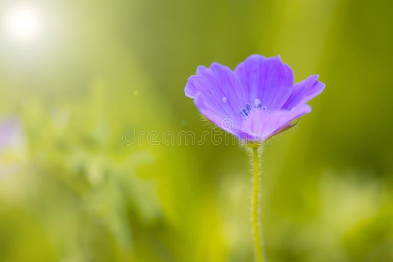 Uma flor roxa pequena em um fundo verde no jardim fotos de stock