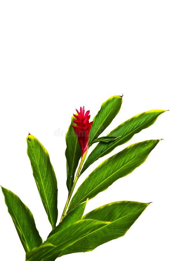 Uma flor tropical bonita do gengibre vermelho (Alpinia Purpurata). fotografia de stock
