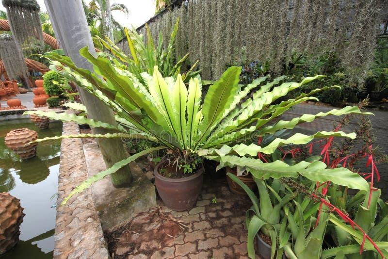Uma flor tropical verde grande no potenciômetro no jardim botânico tropical de Nong Nooch perto da cidade de Pattaya em Tailândia fotos de stock royalty free