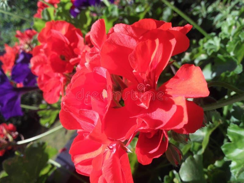 Uma flor vermelha fotos de stock royalty free