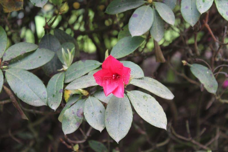 Uma flor vermelha bonita com as folhas verdes fotos de stock