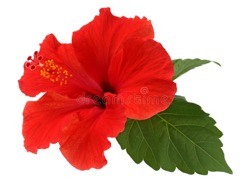 Uma flor vermelha do hibiscus fotos de stock royalty free