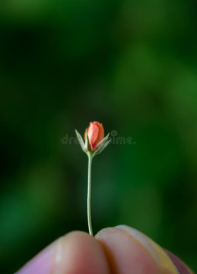 Uma flor vermelha muito pequena entre os dedos parece uma rosa fotos de stock