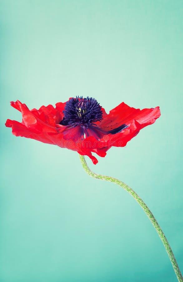 Uma flor vermelha para fora aberta da papoila foto de stock