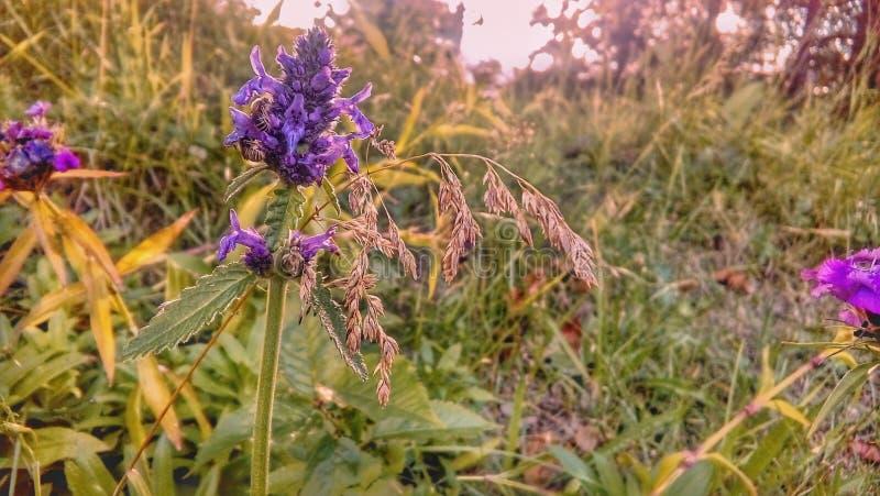 Uma flor violeta do campo em um prado selvagem fotografia de stock royalty free