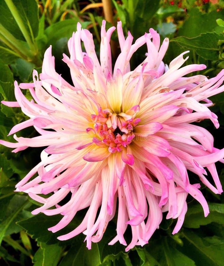 Uma florescência cor-de-rosa grande da flor da dália imagem de stock royalty free