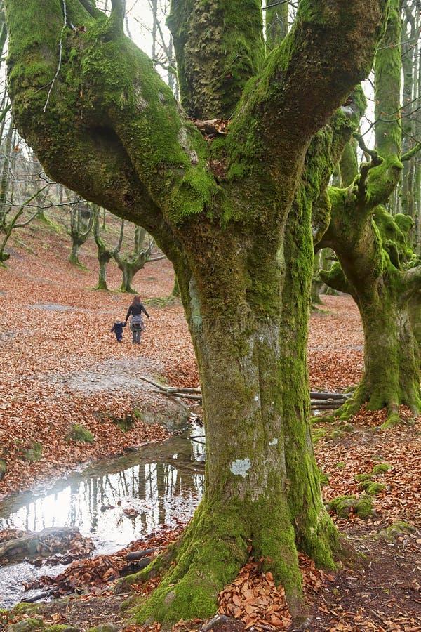Uma floresta da mágica e do ancientbeech fotografia de stock
