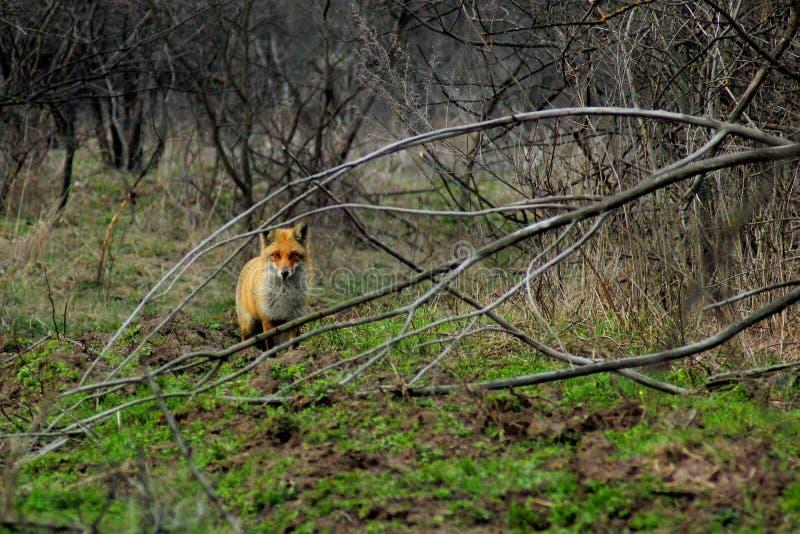 Uma floresta do Fox na primavera foto de stock royalty free