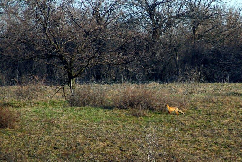Uma floresta do Fox na primavera imagem de stock