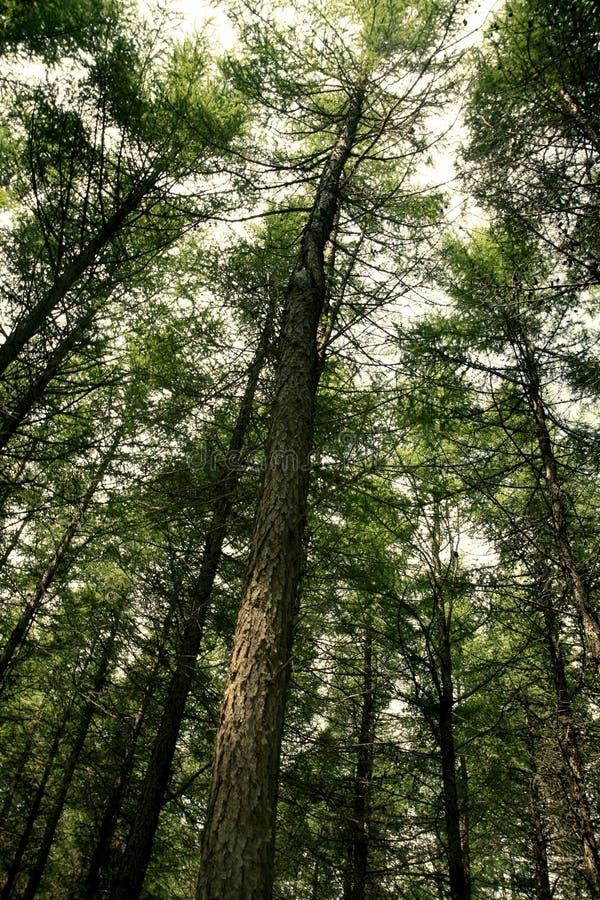 Uma floresta do pinho imagens de stock royalty free