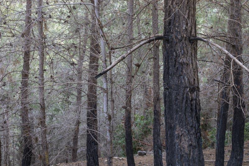 Uma floresta do pinho após um fogo fotografia de stock