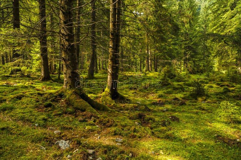 Uma floresta do pinho com árvores imagens de stock royalty free