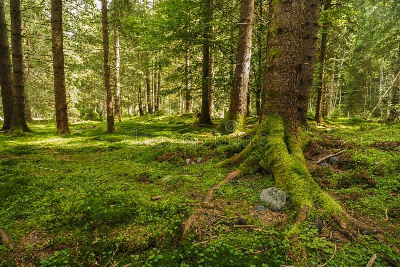Uma floresta do pinho com árvores fotos de stock royalty free
