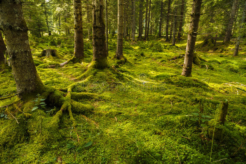 Uma floresta do pinho com árvores fotografia de stock