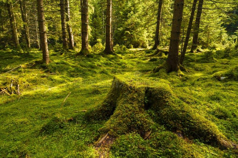 Uma floresta do pinho com árvores imagem de stock royalty free